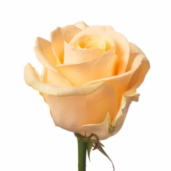 розы недорого доставка