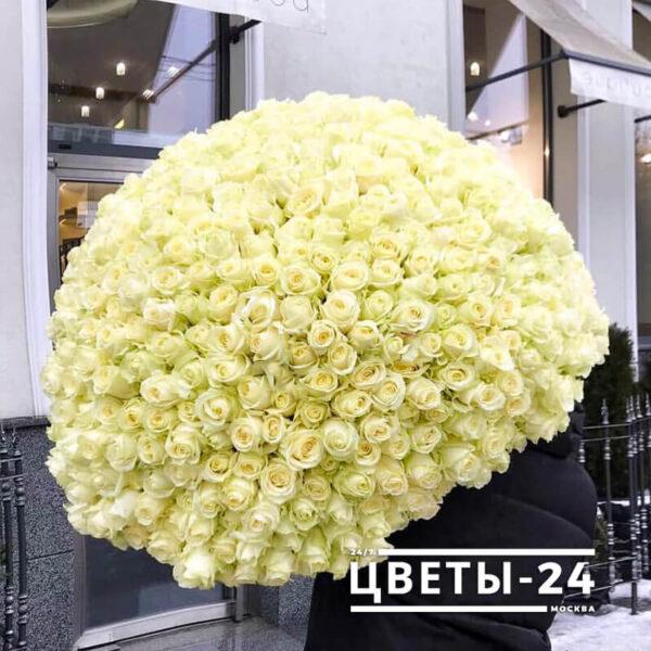 210 роза белая